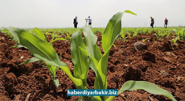 DİYARBAKIR-Diyarbakır'da son yıllarda mısır eken çiftçiler, bu yıl mısır fiyatlarının düşük olması ve destekleme primlerinin düşmesi nedeniyle buğday ekimine yöneldiklerini belirttiler.