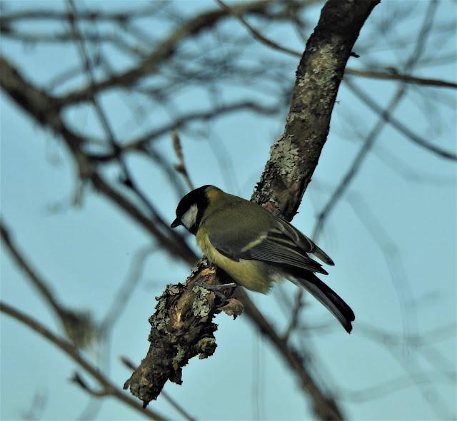 Talitintti, kevät, talitiainen, lintu