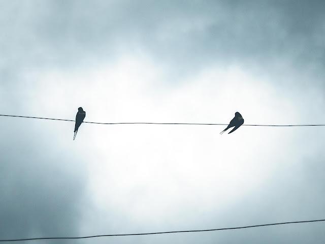 Zwaluwen op draad