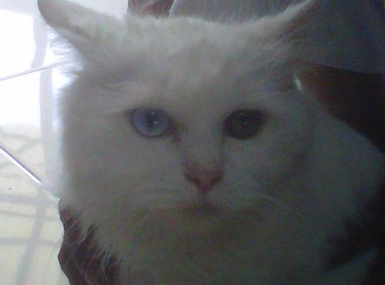kucing-anggora-putih