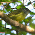Download Suara Burung Opior Sulawesi Mp3