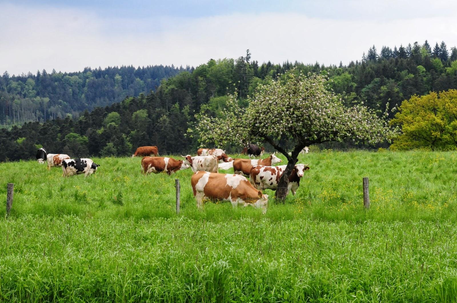 trächtigkeit kühe energiebedarf