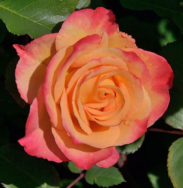 Marseille en Fleurs сорт розы фото саженцы Минск