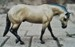 walking QH stallion