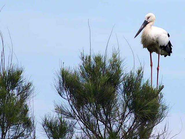 bird, endangered, Kourijima, Okinawa, Pine