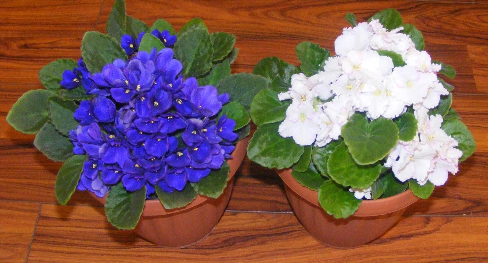 Violete de parma flori decorative de apartament,
