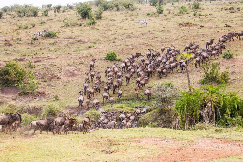 Ñus cruzando un río en el Masai Mara