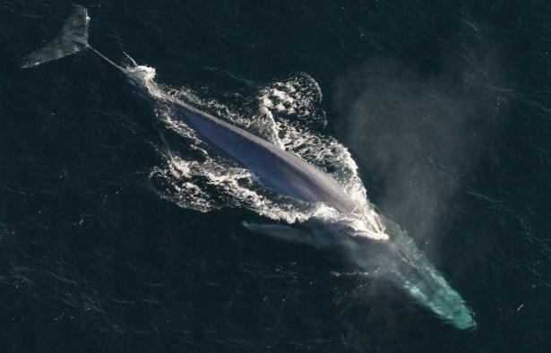 Paus biru - Hewan yang memiliki ukuran yang paling besar hingga saat ini