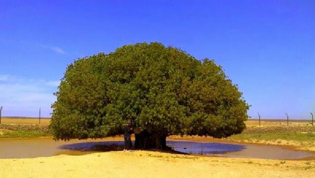 pohon rasulullah saw berteduh
