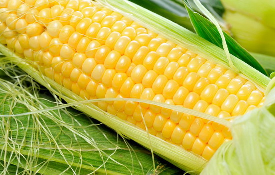 Laporan Penelitian Jagung Rekayasa Genetika Menghasilkan Methionine
