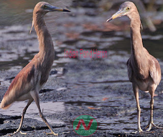 indian pond heron, কানিবক