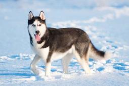 Mengenal Jenis Anjing Siberian Husky Dan Cara Merawatnya