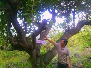 Nhờ ghép cải tạo, vườn điều của ông Tần đạt 4 tấn/ha