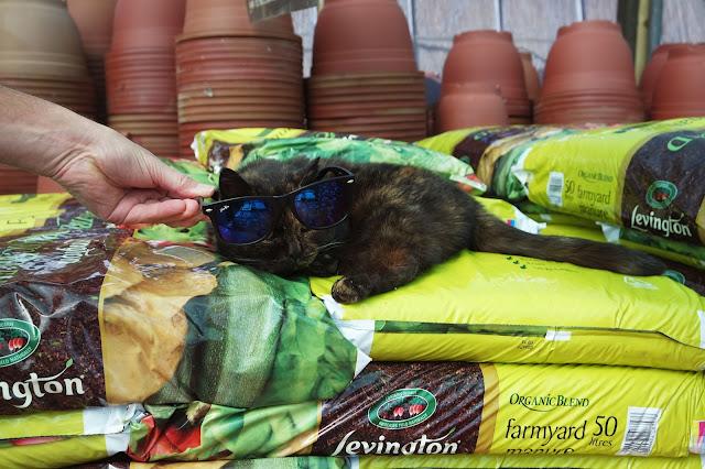 tabby cat wearing sunglasses