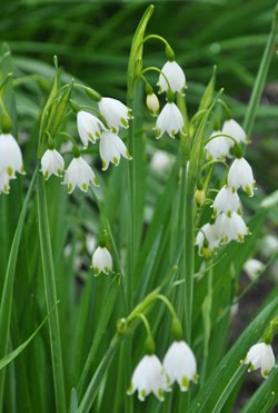 Spring and Summer Snowflakes, Leucojum