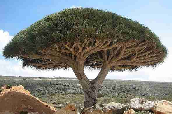 Socotra-dragon-tree-جزيرة-سوقطرة