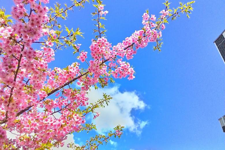 淀水路櫻花