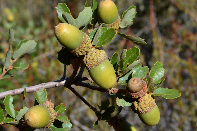 scrub oak in fruit