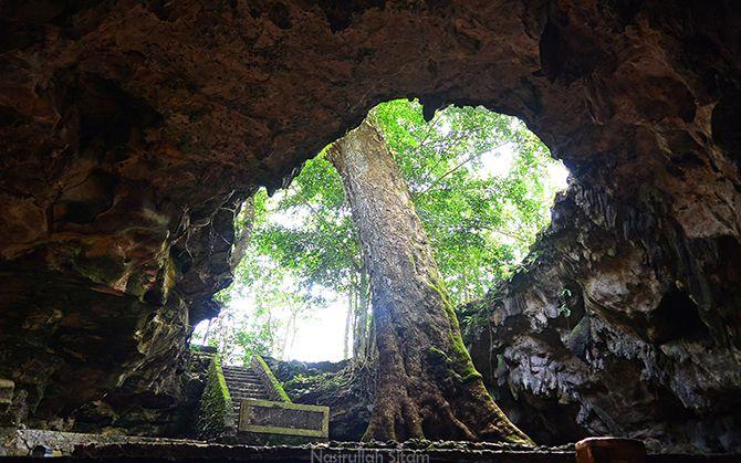Pohon Klumpit di Gua Rancang Kencono, Playen, Gunungkidul