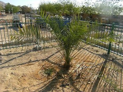 La palma dactilera de Judea, extinta en el año 70 de nuestra era, ha vuelto a brotar gracias al descubrimiento de una jarra con semillas que llevaba enterrada 2 mil años bajo el palacio del Rey Herodes.