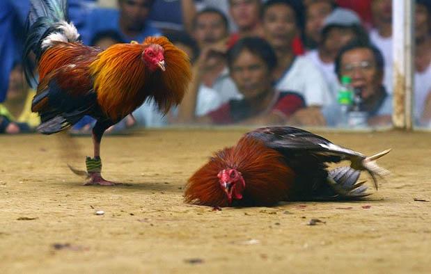 Asal Usul Ayam Bangkok