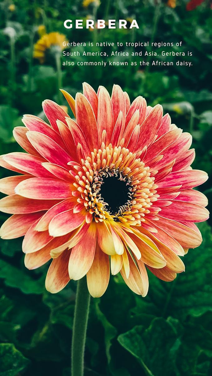 Warna-warni Bunga Gerbera Cameron Highlands