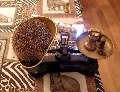 hedgehog hog hibernation hibernate weight cat food