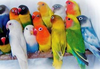 Budidaya Love Birds