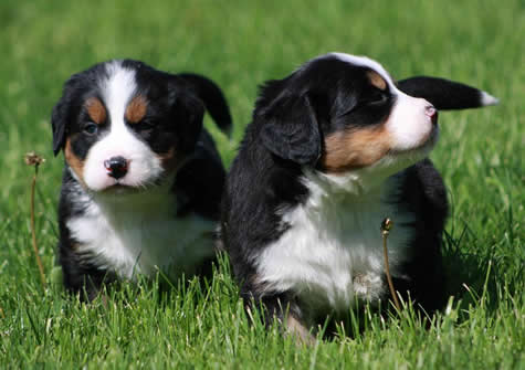 The most effective dog training: The Bernese Mountain Dog Reviews