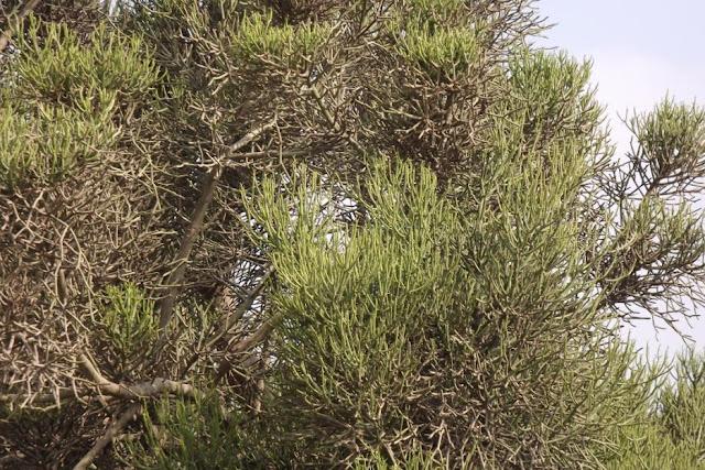 Cây Xương Khô rậm rạp - Euphorbia tirucalli - Nguyên liệu làm thuốc Chữa bệnh Mắt Tai Răng Họng