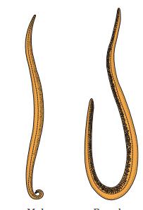 aschelminthes phylum
