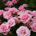 Cara Budidaya Bunga Mawar Untuk Pemula