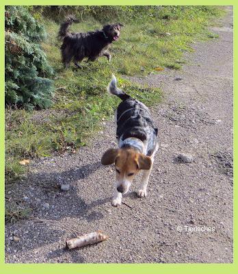 Beagle holt Stöckchen