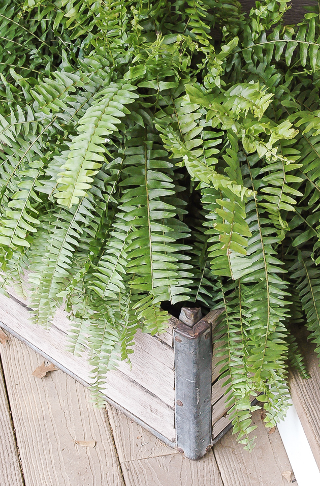 spring porch fern