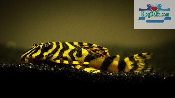 Ikan sapu-sapu Leopard Frog Pleco