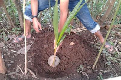 Cara Menanam Pohon Kelapa