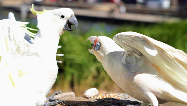 Corella fighting with a cockatoo in Centennial Park in Sydney