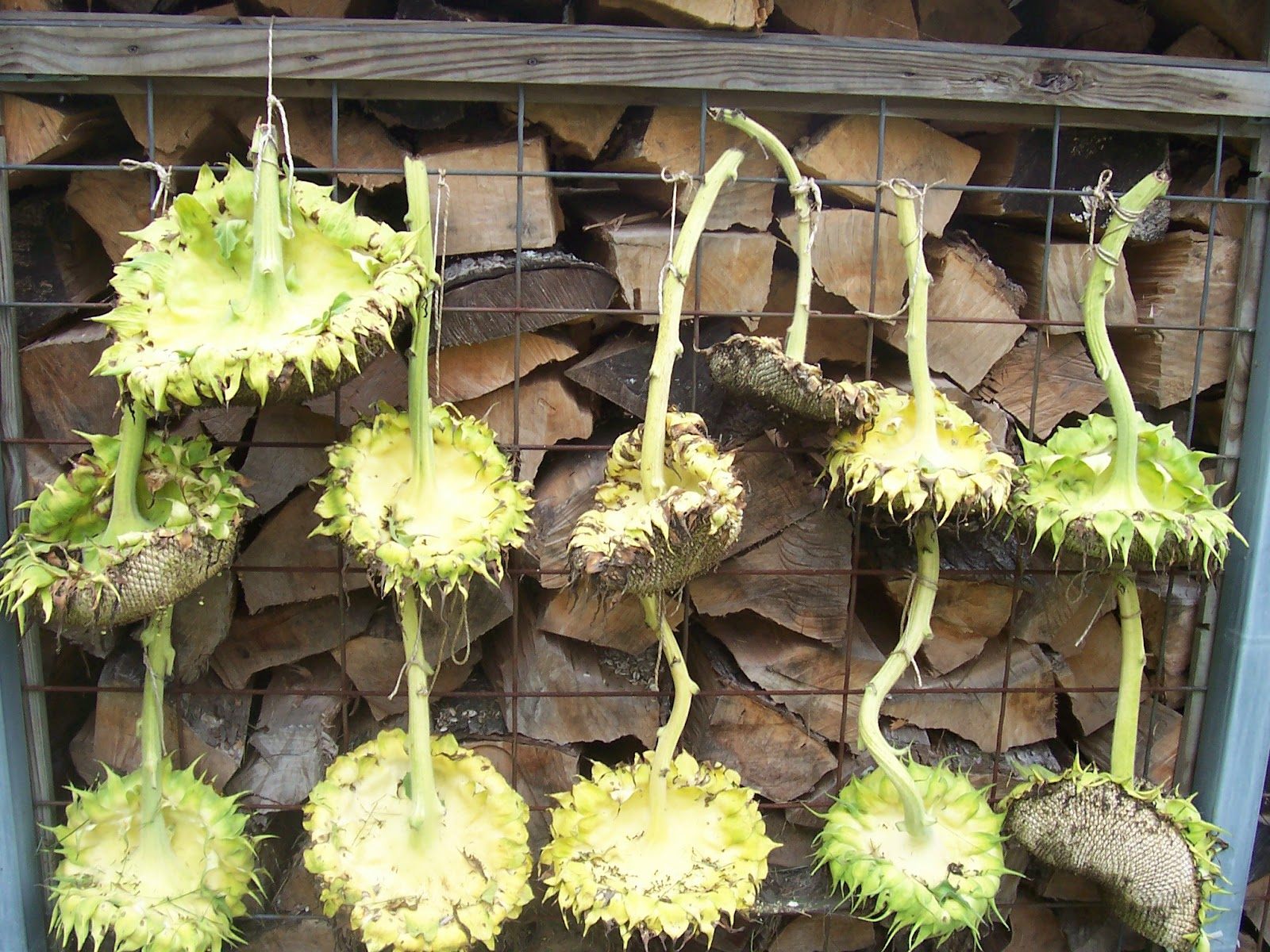 I Garden In Flip Flops When To Harvest Sunflowers-7213