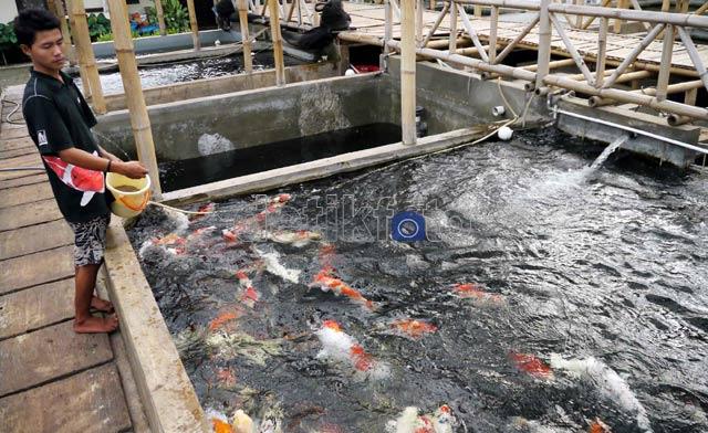 Galeri Ikan Hias dan Aquarium: Budidaya Ikan Koi