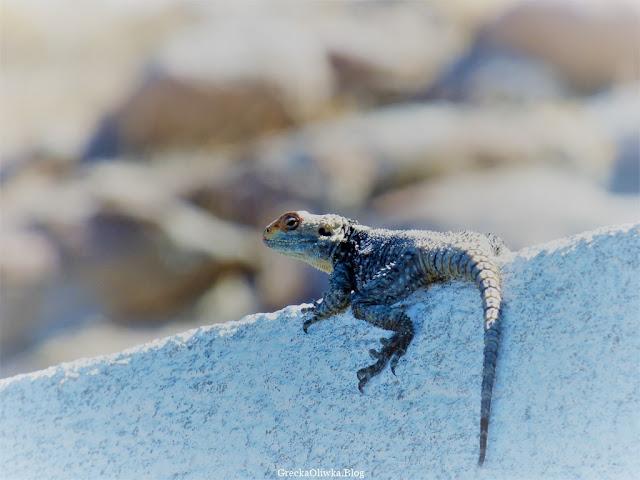 Agama stellio myknonesnis jaszczurka Mykonos Grecja