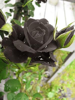 bunga Rose Hitam