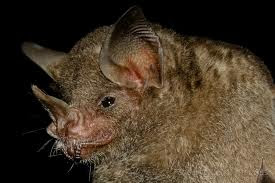 Seba´s Short tailed Bat