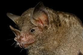 Seba´s Short tailed Bat