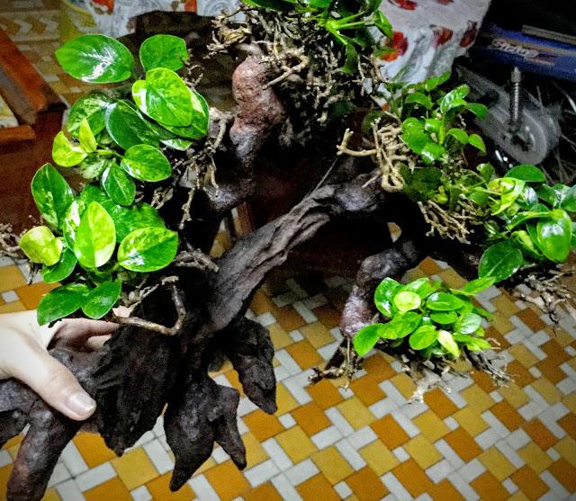 cây thủy sinh ráy cẩm thạch buộc lên lũa bon sai
