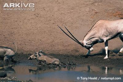 african mammals interactions