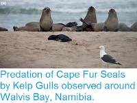 http://sciencythoughts.blogspot.co.uk/2015/11/predation-of-cape-fur-seals-by-kelp.html