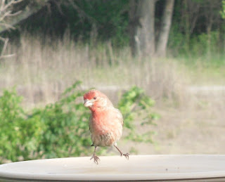 male finch on birdbath