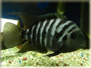 Convict Cichlid Fish Pictures