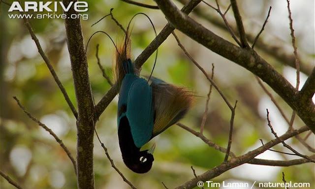 Gambar Burung Cendrawasih Biru