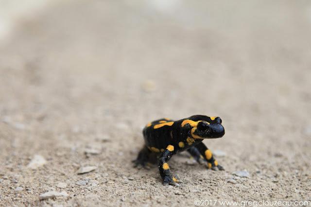 salamandre tachetée (Salamandra salamandra), Orpierre, France